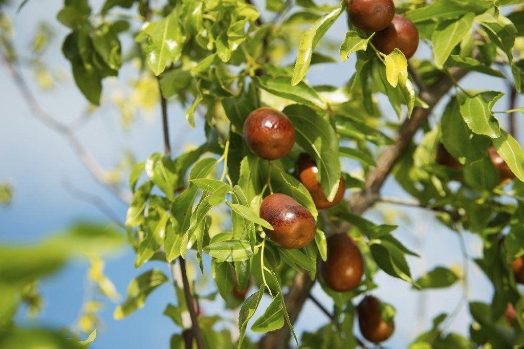 Jujube Tree Care How To Grow A Jujube Tree