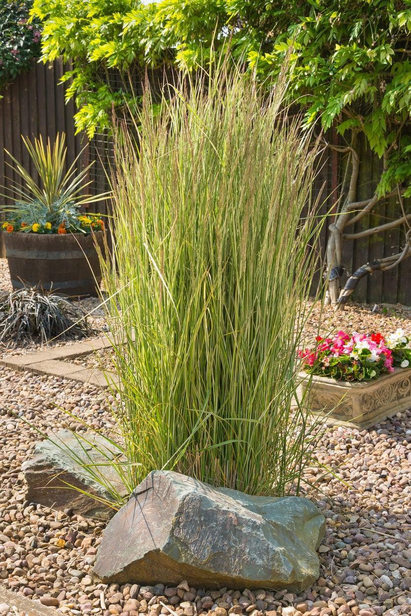 Tall Grass For Landscape