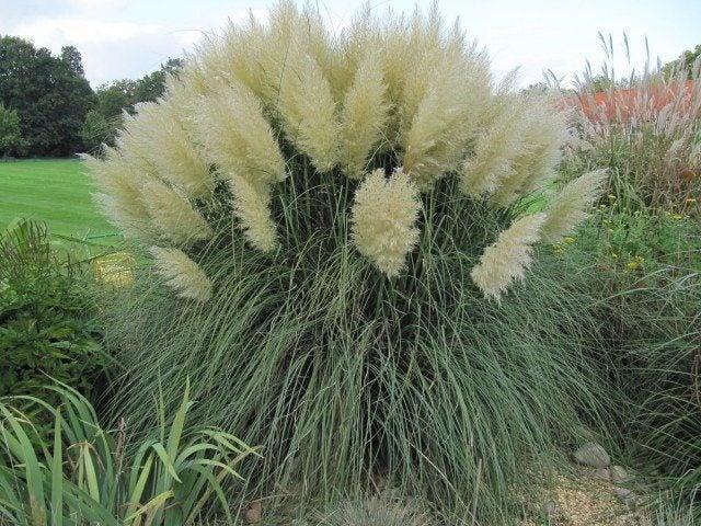 Ornamental Grass Plumes How To Get An Ornamental Grass