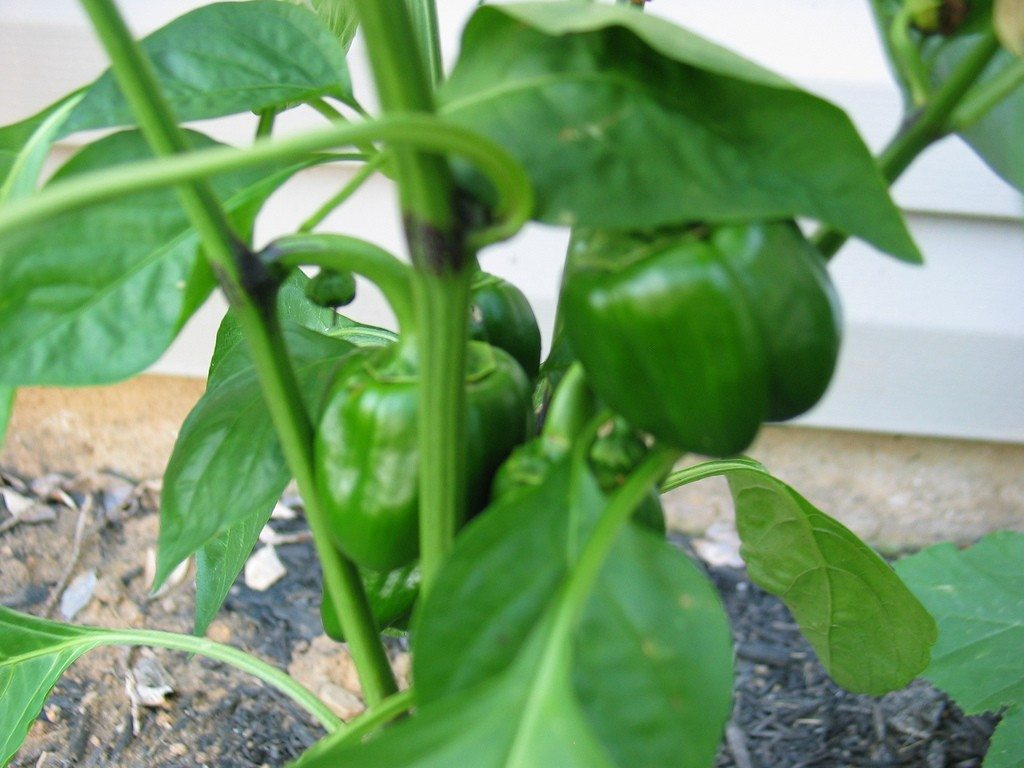 Pepper Plant Problems – Why Pepper Plants Have Black ...