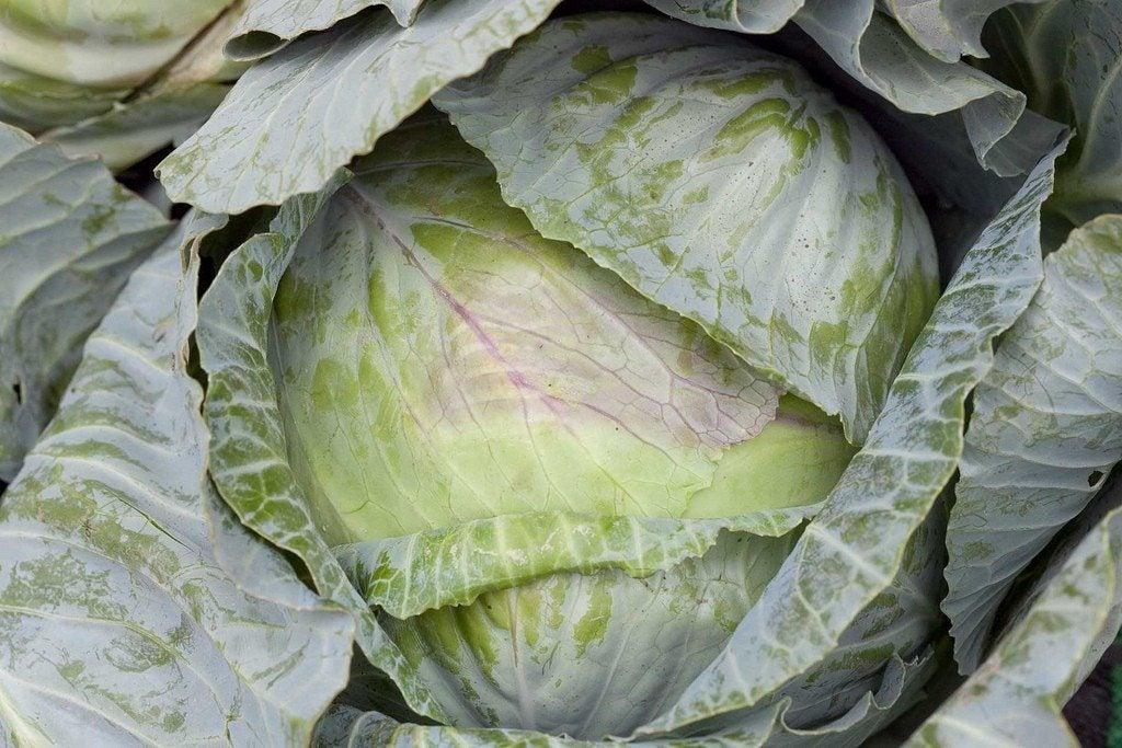 Cabbage Heads The Cabbage Heads The Cabbage Heads