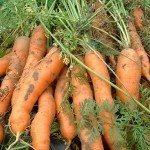 carrot-harvest