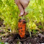 harvest carrot
