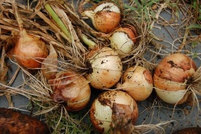 harvested-onions