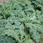 kale-plants