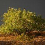 mesquite-tree