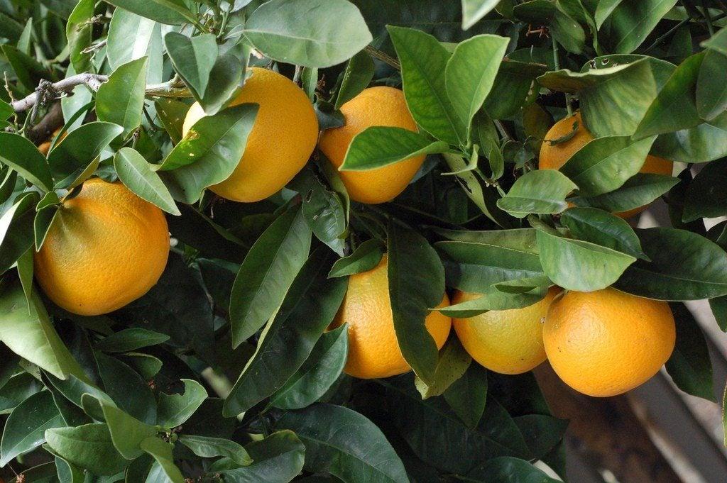 Orange tree not fruiting why won t an orange tree produce