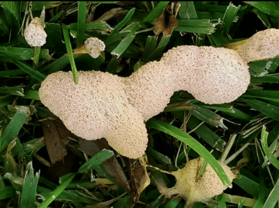 Slime Mold Control Getting Rid Of Slime Molds In Garden Mulch