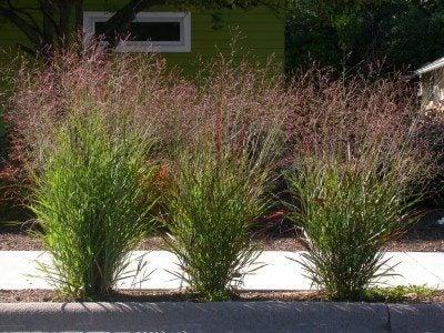 http://www.gardeningknowhow.com/wp-content/uploads/2012/08/switchgrass1-400x300.jpg