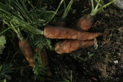 carrot-soil