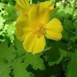celandine-poppy