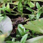 garden-frog