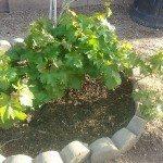 grapevine-plant