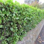 hedge-plant