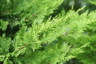 branch cupressocyparis  Leylandii  green  background