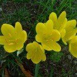 sternbergia-winter-daffodil