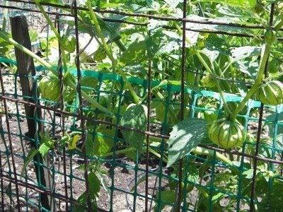 tomatillo-cage