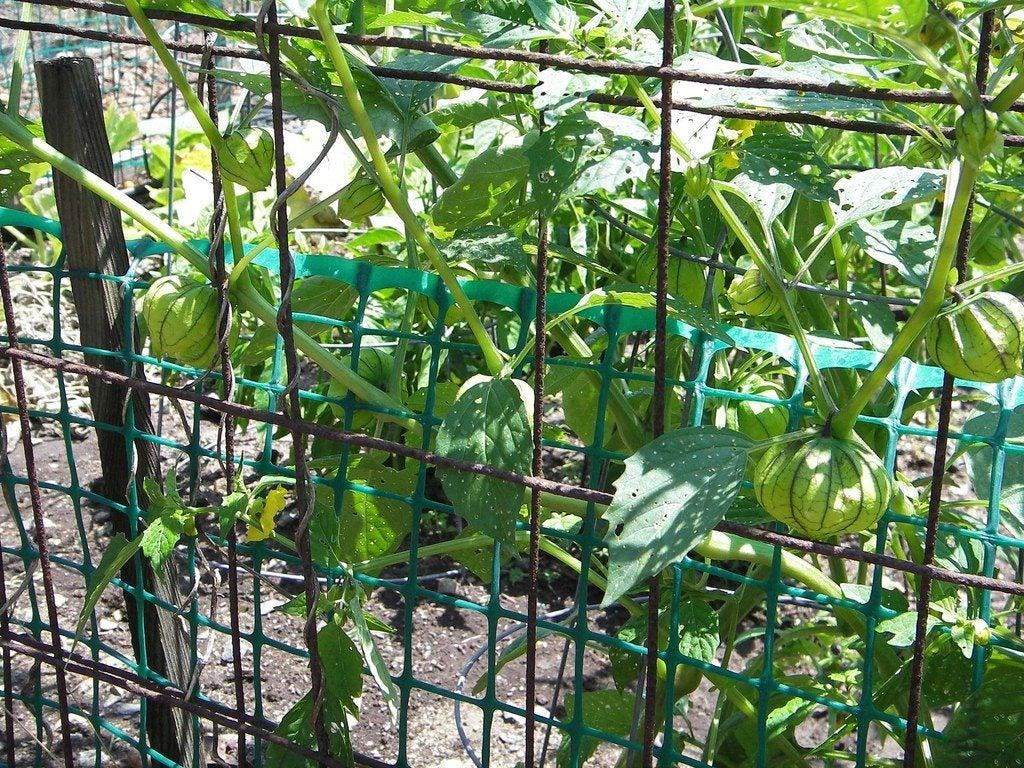Wild Tomatillo Plant to Prune Tomatillo Plants