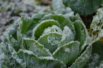 winter-cabbage