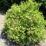 buttercup-bush