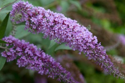 Butterfly Bush Care How To Care For A Butterfly Bush