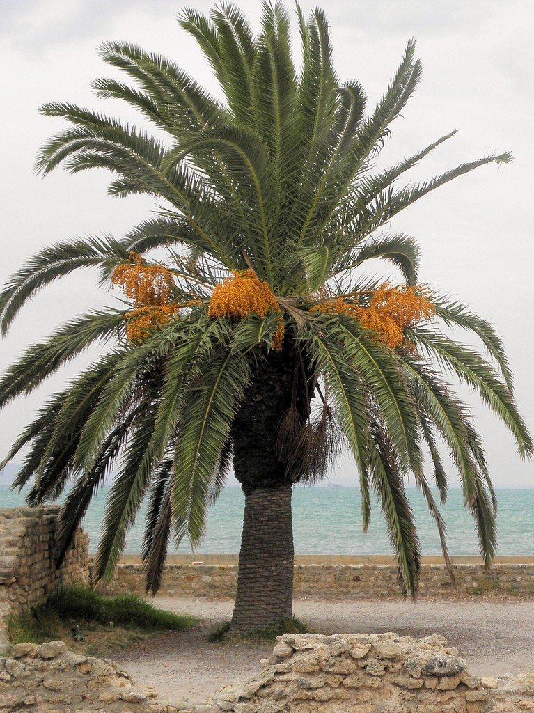 Date Palm Growing - How To Care For A Date Palm Tree