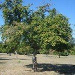 filbert-tree