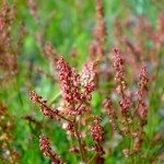 red-sorrel