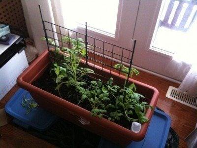 Growing Indoor Tomatoes u2013 Tips On How To Grow Tomato Plants Over Winter & Winter Growing Tomatoes: How To Grow Tomatoes Indoors