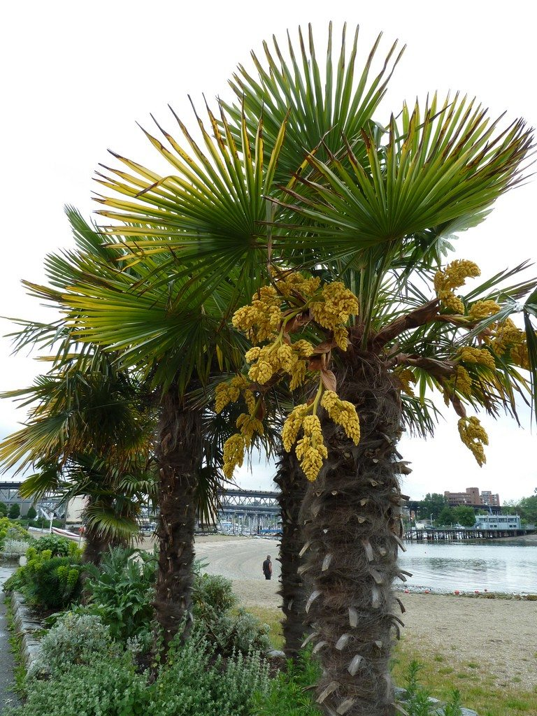 Windmill Palm Trees How To Plant A Windmill Palm Tree