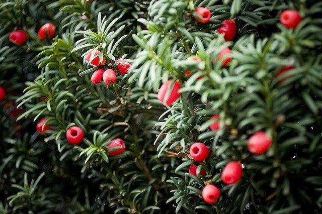 Yew Shrub Pruning Taxus Yew Shrubs – H...