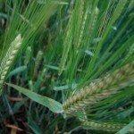 Barley (Hordeum vulgare L.) at Alnarp-2004-07-20