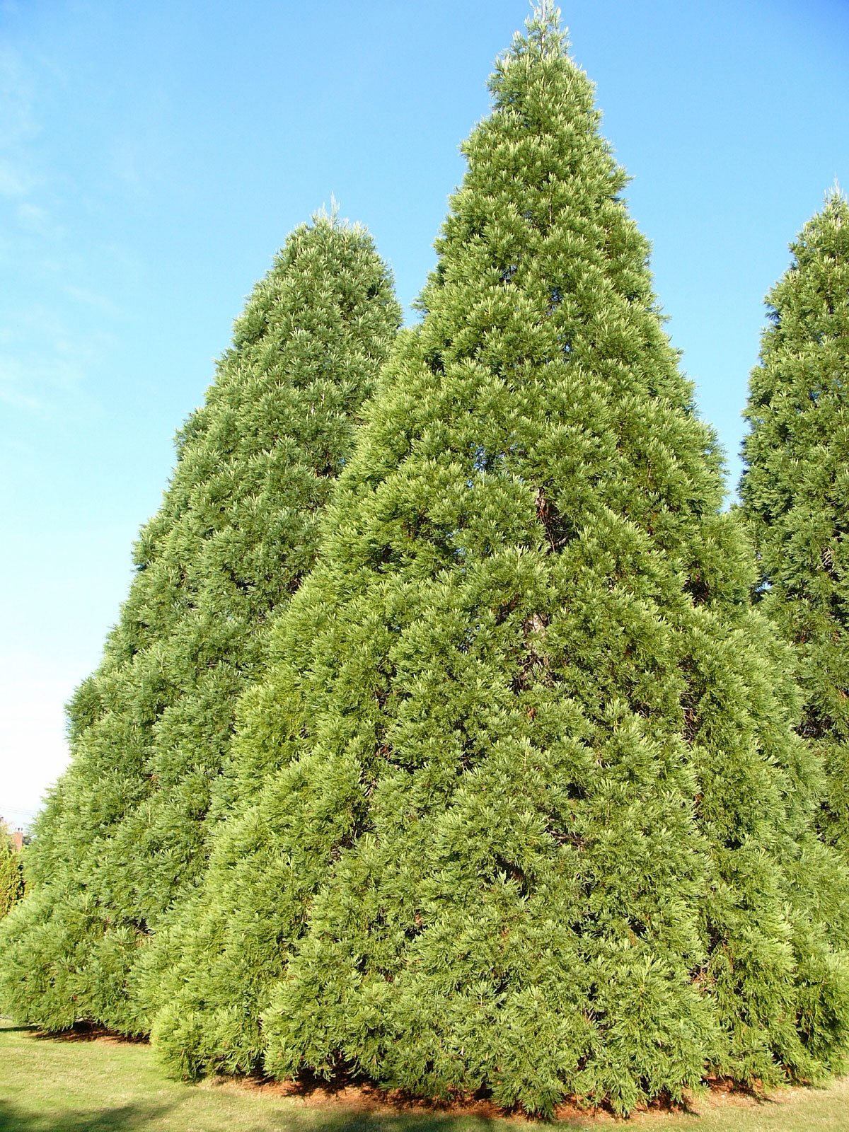 Facts About Cedar Trees – Learn How To Care For A Cedar Tree