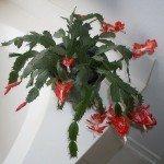 christmas-cactus-plant