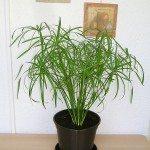 cyperus-plant