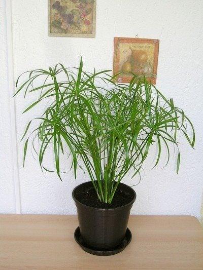Umbrella plant care growing cyperus umbrella plants indoors for Plant de pot exterieur