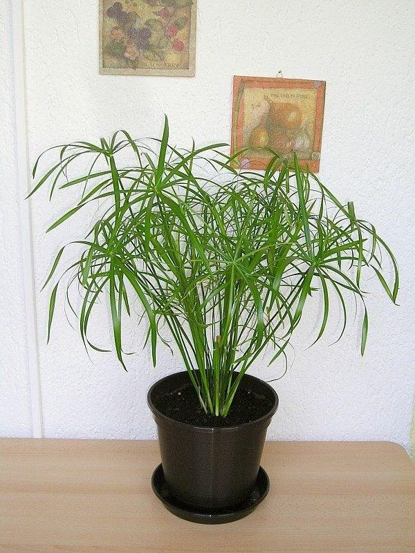 umbrella plant care