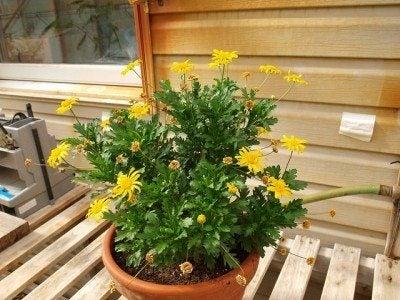 euryops-bush-daisy