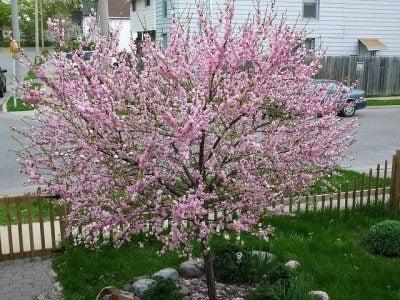 flowering-almond