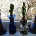 forced-hyacinths