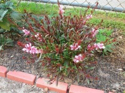 Gaura perennial care growth needs of the gaura plant gaura perennial care mightylinksfo
