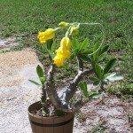 madagascar-palm-plant