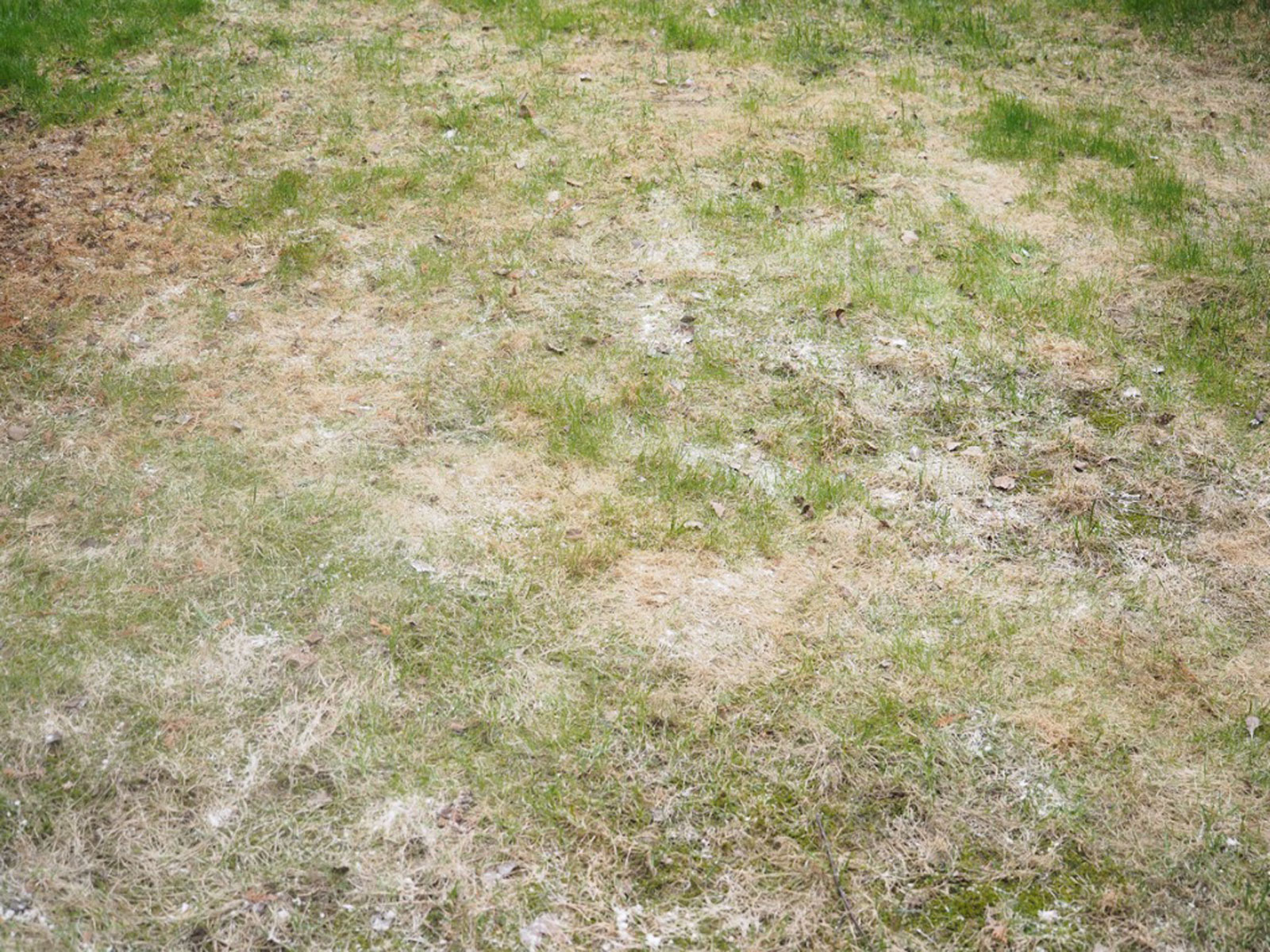 Powdery Mildew Treatment For Lawns What To Do When Grass Has White Powder
