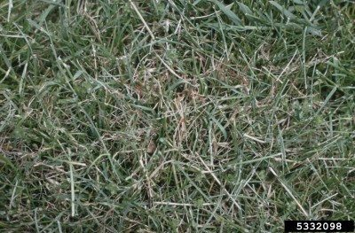 Controlling pink fungus in lawns: pink patch and red thread in grass
