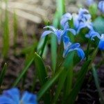 siberian-squill
