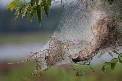 webworm-nest