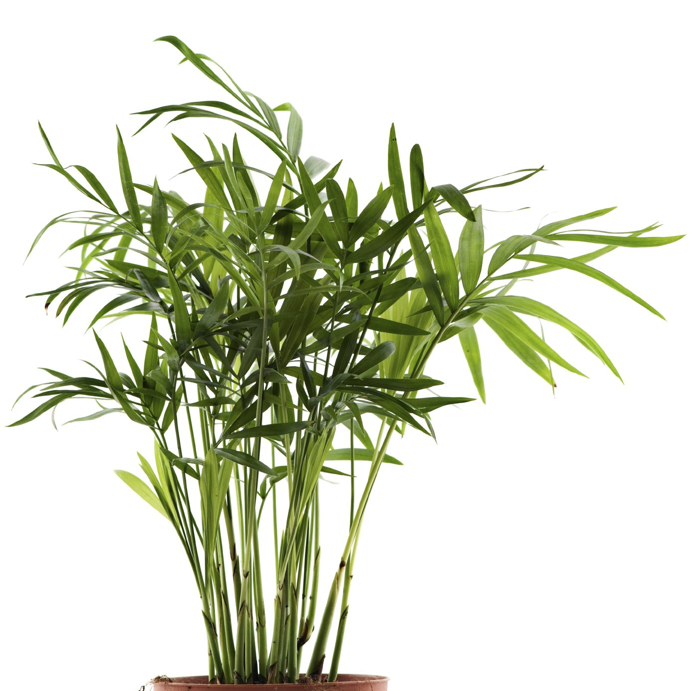 Growing Palms Indoors – Learn About Bamboo Palm Care