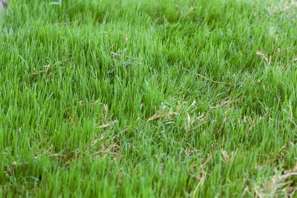Bermuda Grass Care Tips On How To Grow Bermuda Grass