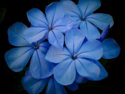 Gardens of blue: designing a blue colored garden scheme