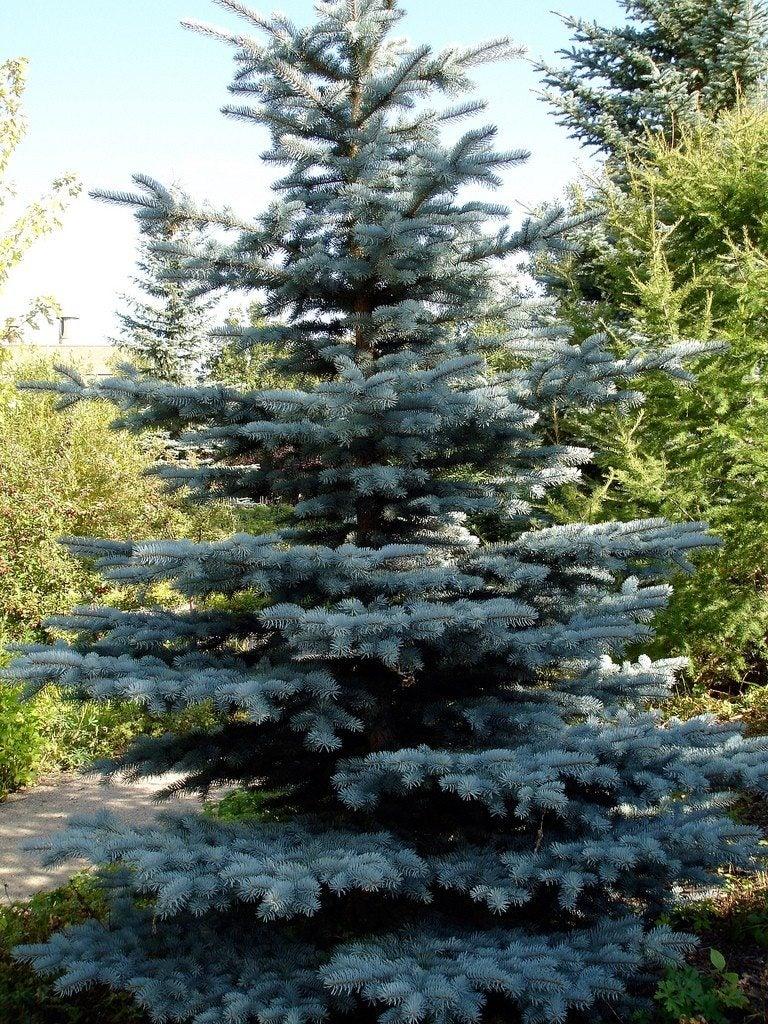 Colorado Spruce Info – How To Grow A Colorado Blue Spruce Tree